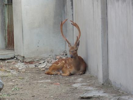 Male Silk Deer