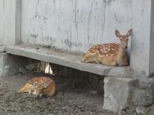 Female silk deer